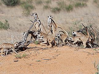 Meerkats - Coaching Mindset